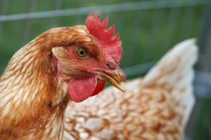 Hen_chicken
