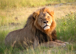 Cecil the lion before his sad encounter with the dentist