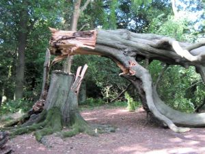The_dangerous_arch_created_by_the_falling_beech_tree,_Ashridge_-_geograph.org.uk_-_1480195