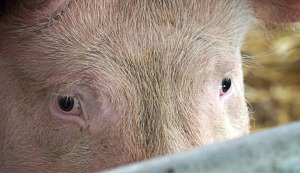 pig-eyes