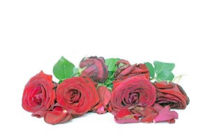 dead-roses-1372497159yk5